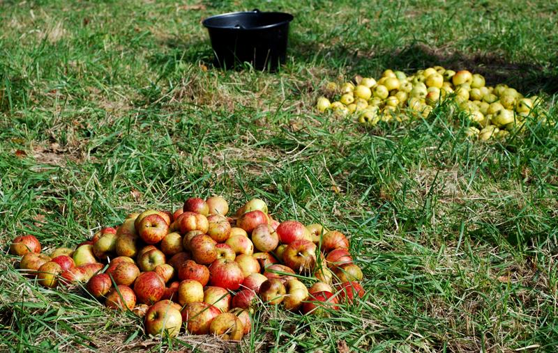 cueillette-pommes-verger-bretagne