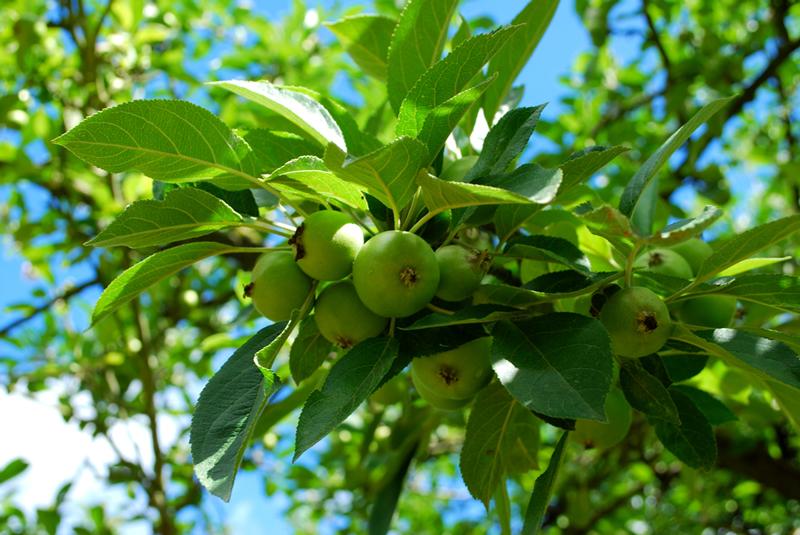 pommes-verger-bretagne
